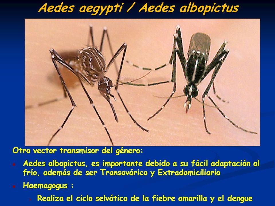 Aedes aegypti / Aedes albopictus