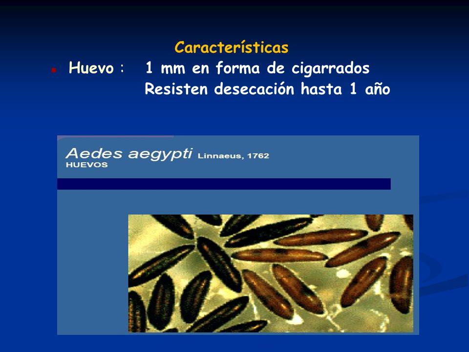 Características Huevo : 1 mm en forma de cigarrados Resisten desecación hasta 1 año