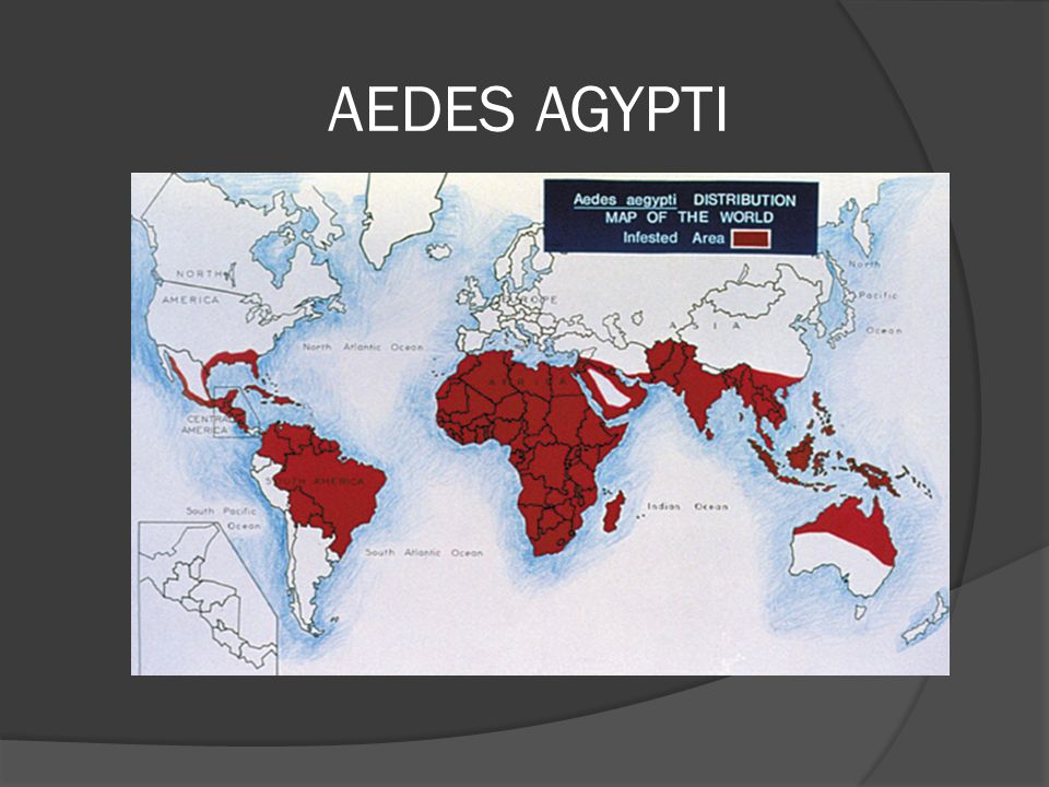 AEDES AGYPTI