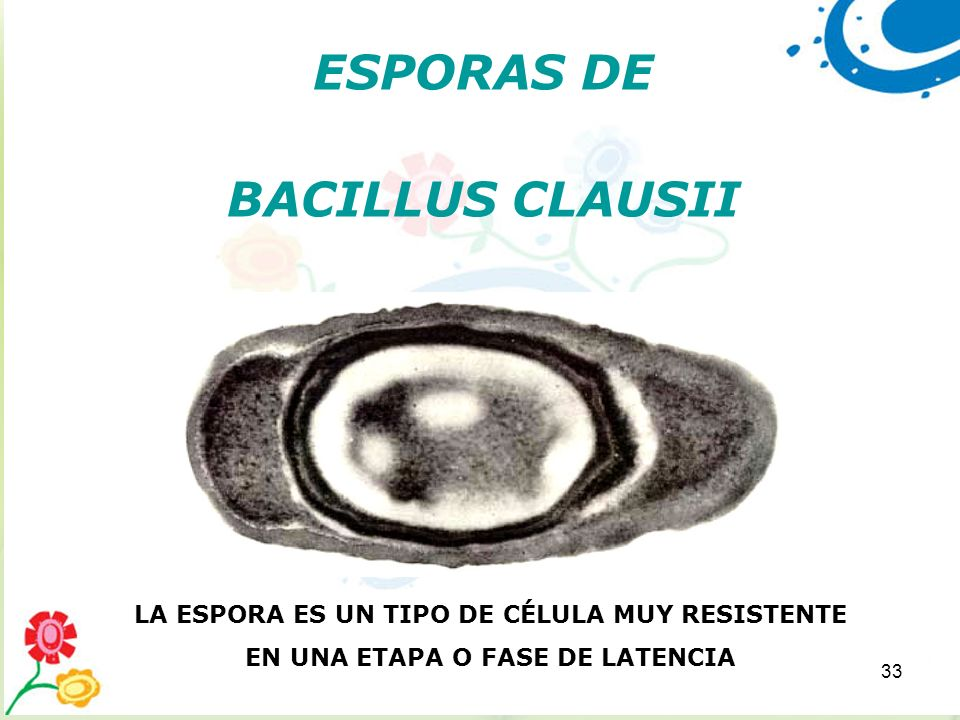 ESPORAS DE BACILLUS CLAUSII