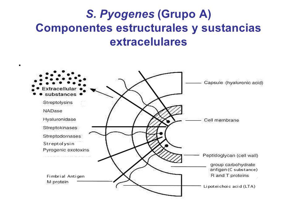 S. Pyogenes (Grupo A) Componentes estructurales y sustancias extracelulares