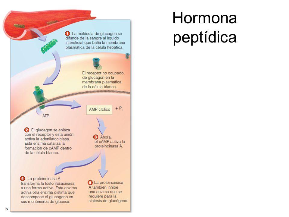 Hormona peptídica