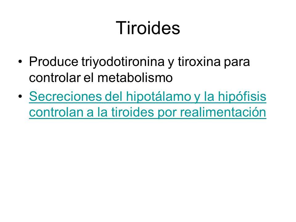 Tiroides Produce triyodotironina y tiroxina para controlar el metabolismo.