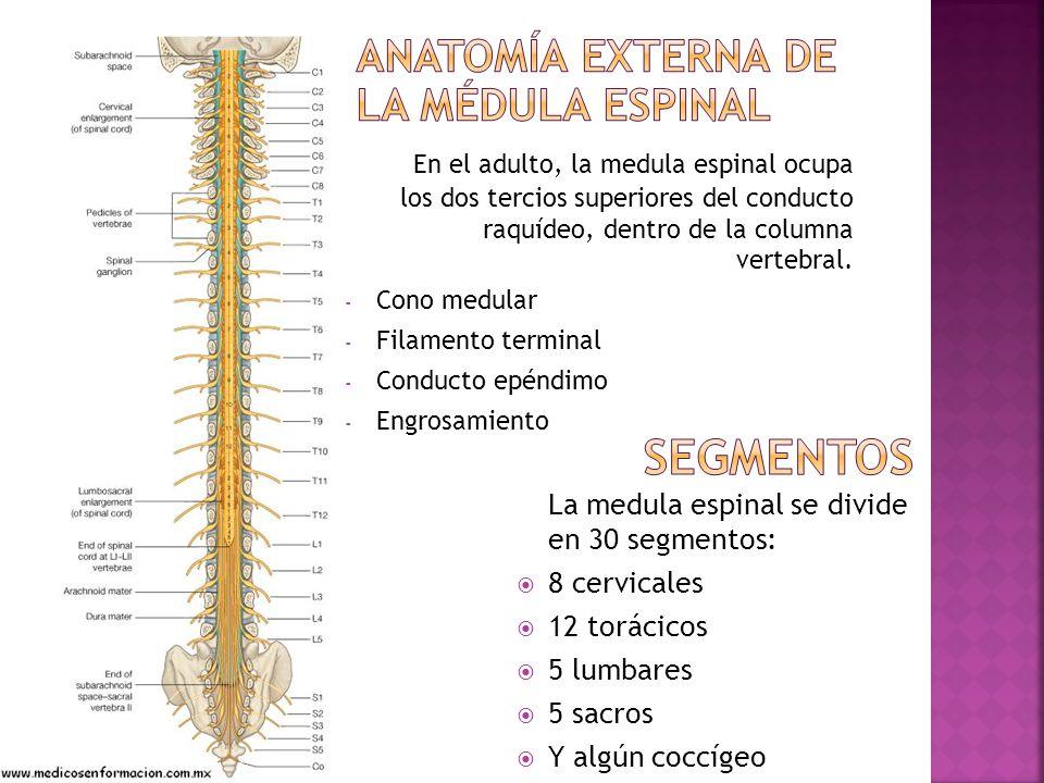 Fantástico Médula Espinal Imágenes De Anatomía Festooning - Anatomía ...