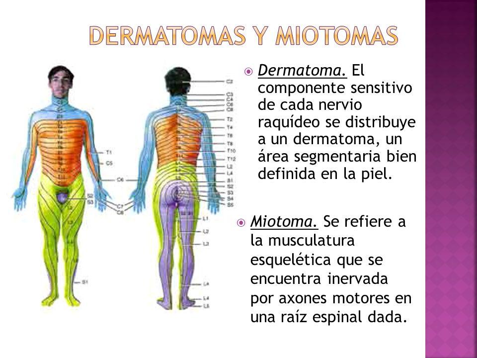 Dorable Dermatoma Humana Bosquejo - Imágenes de Anatomía Humana ...