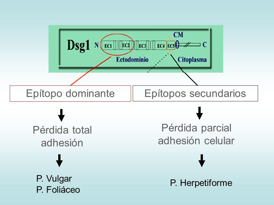 Pérdida parcial adhesión celular Pérdida total adhesión