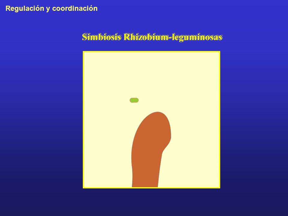 Simbiosis Rhizobium-leguminosas
