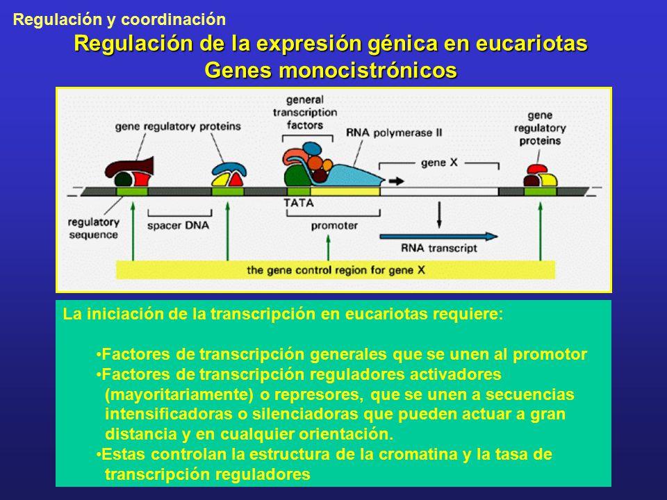 Regulación de la expresión génica en eucariotas Genes monocistrónicos