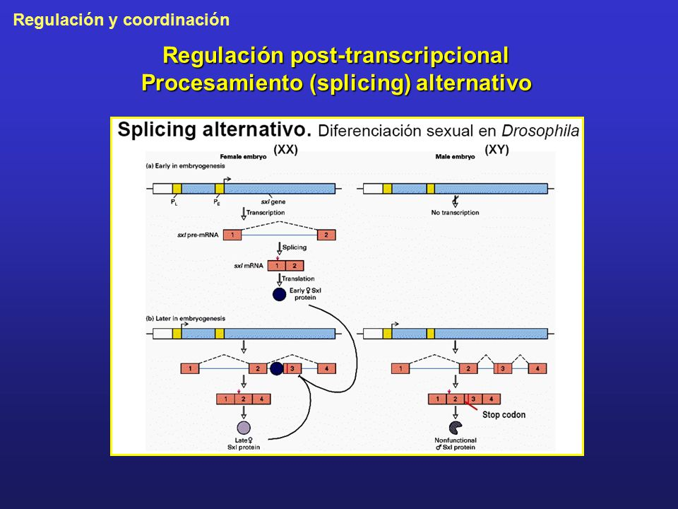 Regulación post-transcripcional Procesamiento (splicing) alternativo
