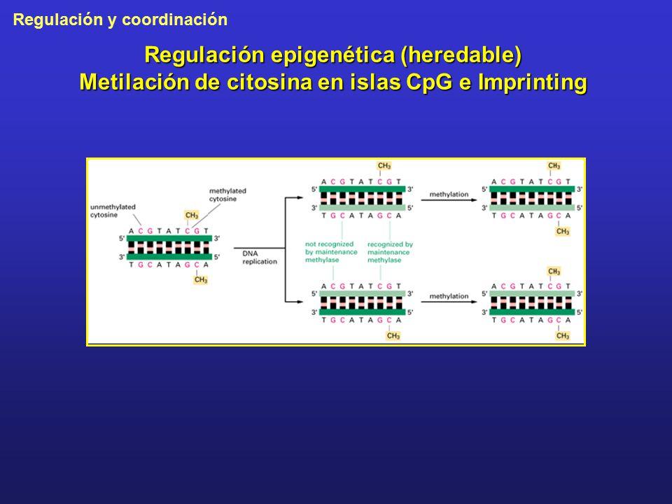 Regulación epigenética (heredable) Metilación de citosina en islas CpG e Imprinting