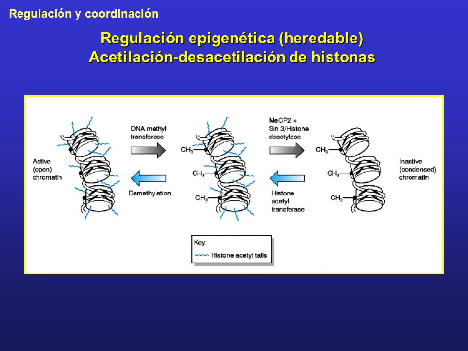 Regulación epigenética (heredable) Acetilación-desacetilación de histonas