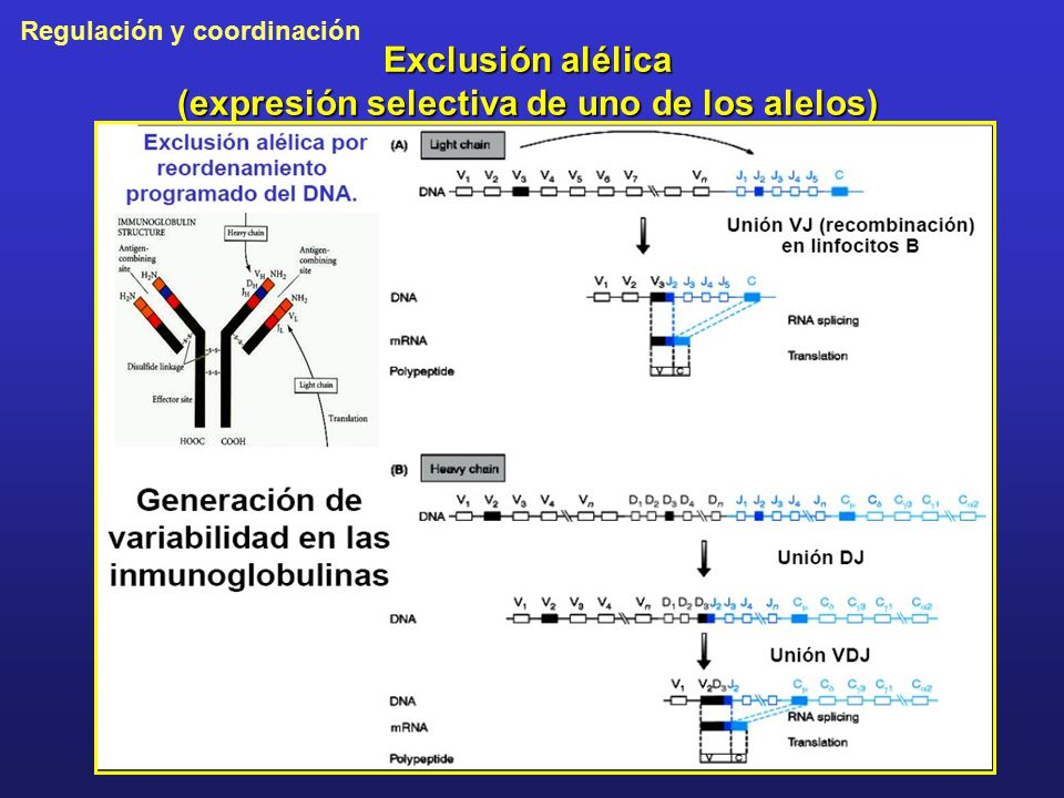 Exclusión alélica (expresión selectiva de uno de los alelos)