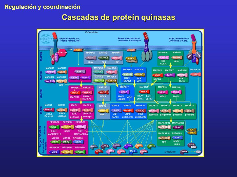 Cascadas de proteín quinasas