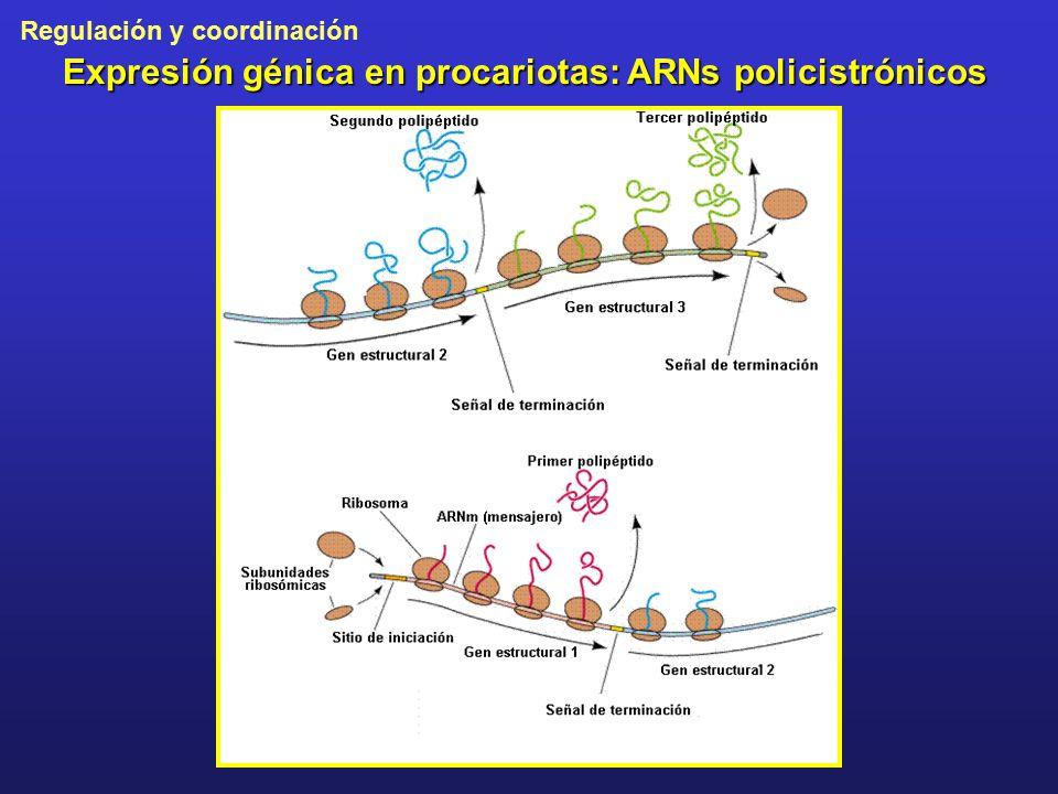 Expresión génica en procariotas: ARNs policistrónicos