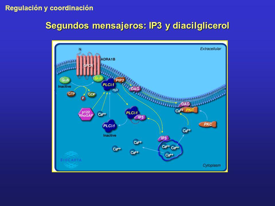 Segundos mensajeros: IP3 y diacilglicerol