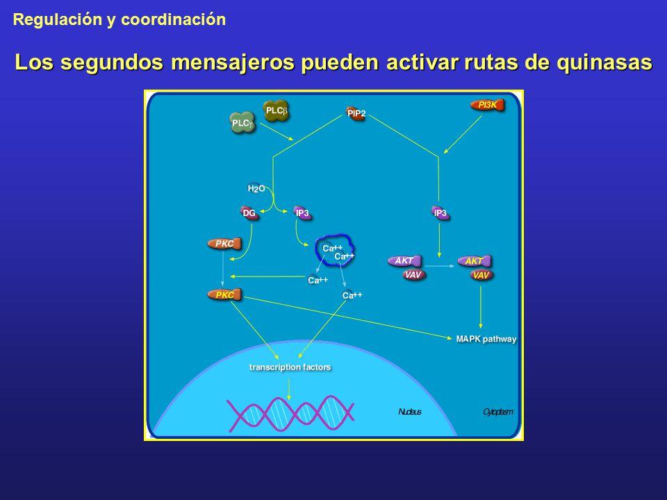 Los segundos mensajeros pueden activar rutas de quinasas