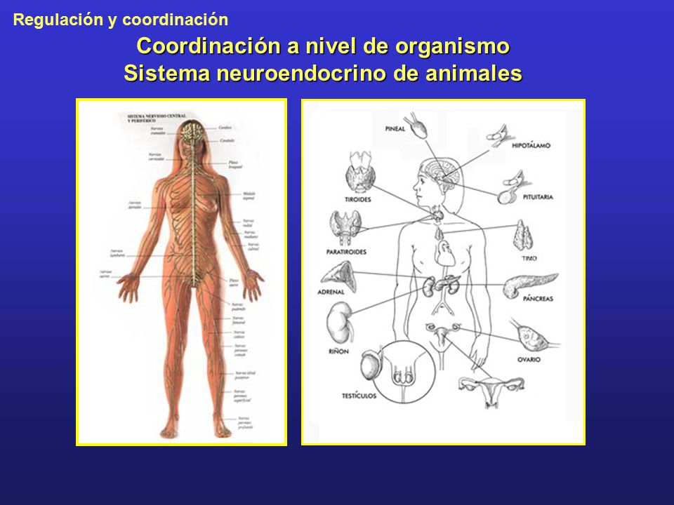 Coordinación a nivel de organismo Sistema neuroendocrino de animales