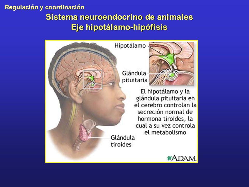 Sistema neuroendocrino de animales Eje hipotálamo-hipófisis