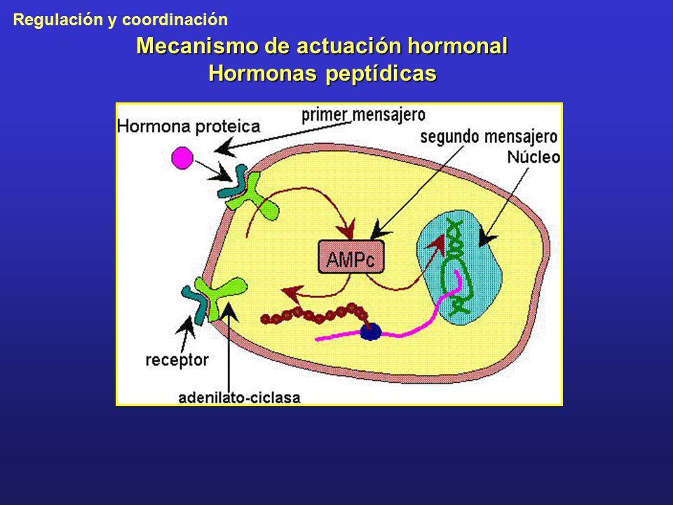 Mecanismo de actuación hormonal Hormonas peptídicas