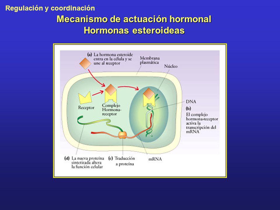Mecanismo de actuación hormonal Hormonas esteroideas
