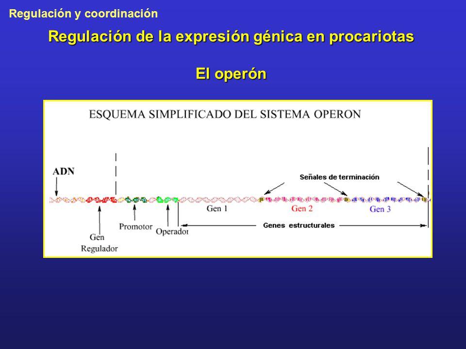 Regulación de la expresión génica en procariotas El operón
