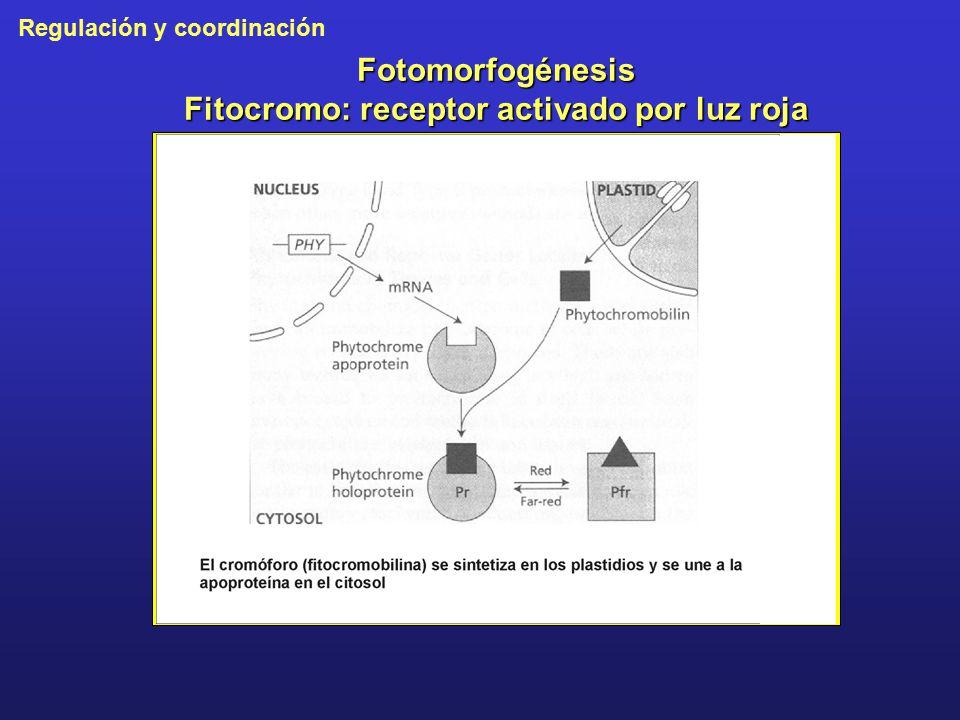 Fotomorfogénesis Fitocromo: receptor activado por luz roja