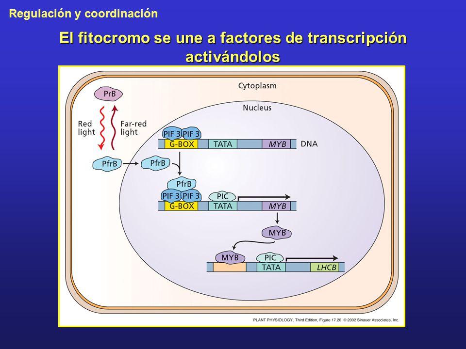 El fitocromo se une a factores de transcripción activándolos