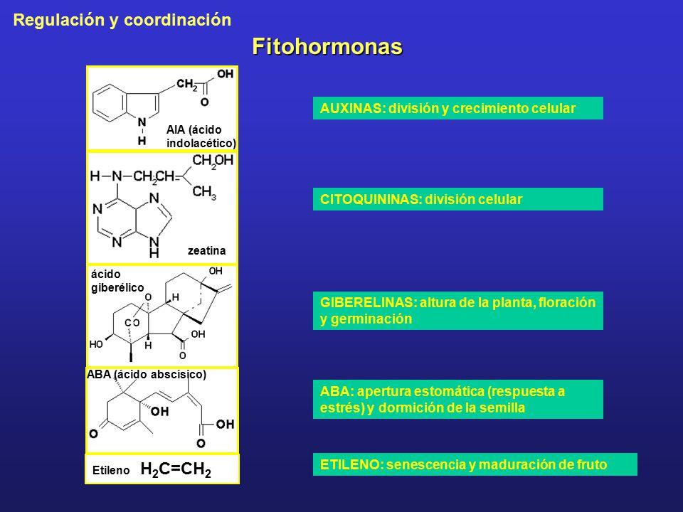 Fitohormonas AUXINAS: división y crecimiento celular