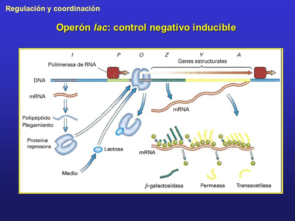 Operón lac: control negativo inducible