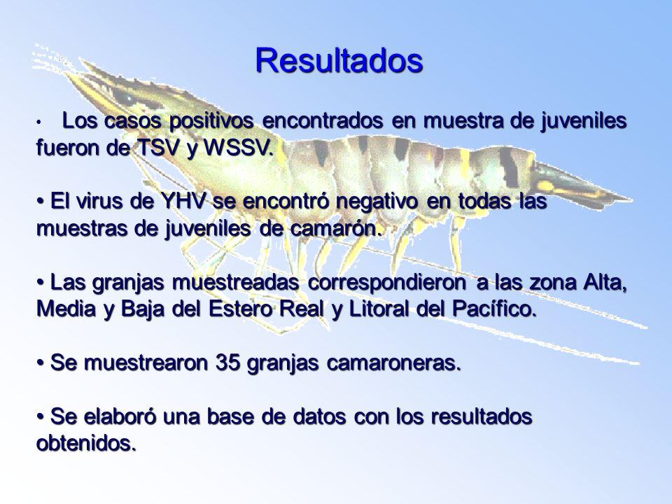 Resultados Los casos positivos encontrados en muestra de juveniles fueron de TSV y WSSV.