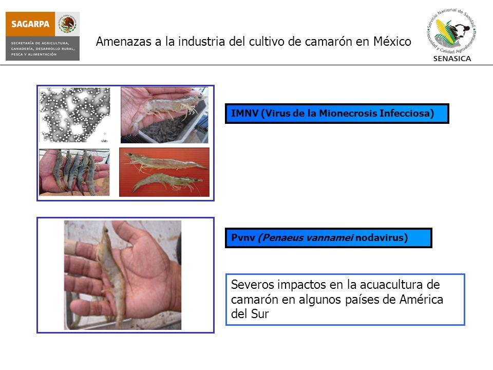 Amenazas a la industria del cultivo de camarón en México