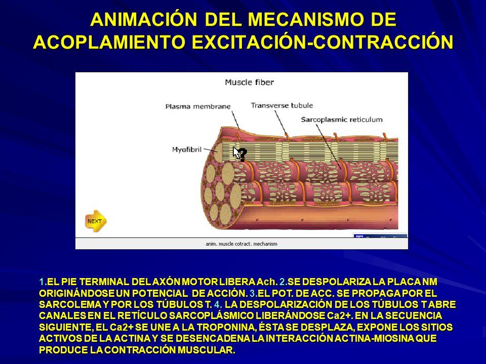 ANIMACIÓN DEL MECANISMO DE ACOPLAMIENTO EXCITACIÓN-CONTRACCIÓN