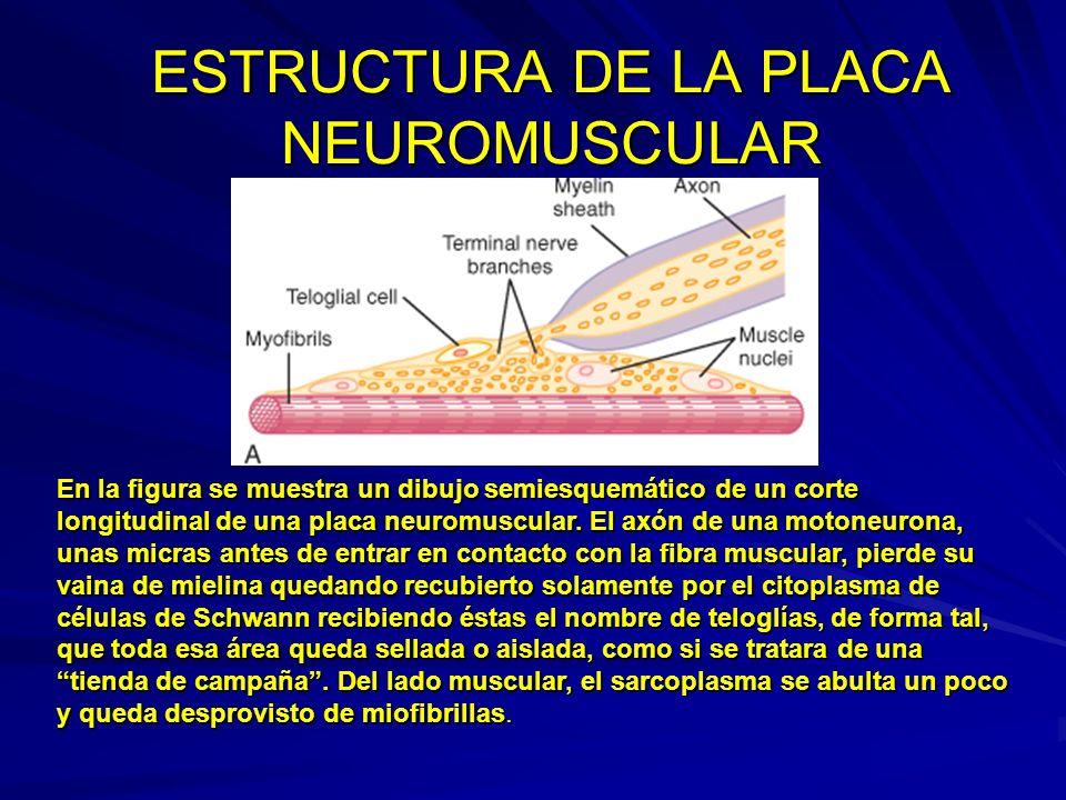 ESTRUCTURA DE LA PLACA NEUROMUSCULAR