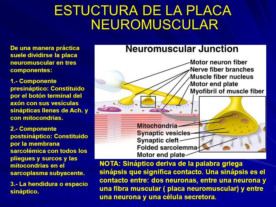 ESTUCTURA DE LA PLACA NEUROMUSCULAR