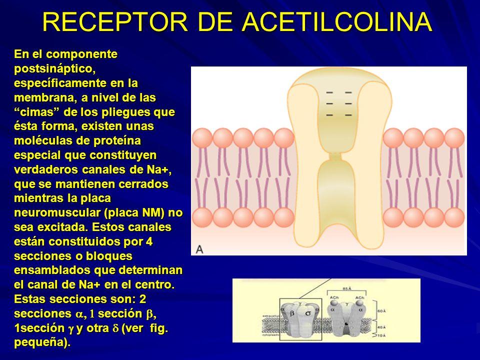 RECEPTOR DE ACETILCOLINA