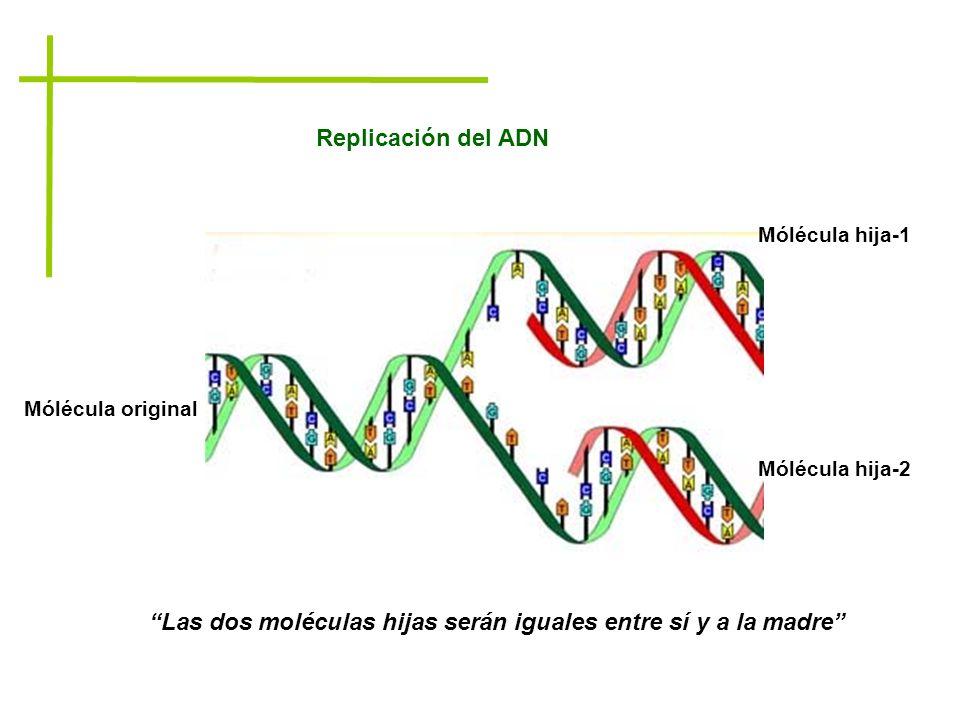 Las dos moléculas hijas serán iguales entre sí y a la madre