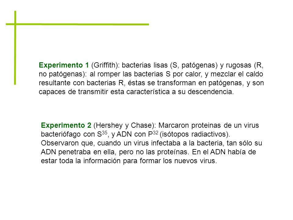 Experimento 1 (Griffith): bacterias lisas (S, patógenas) y rugosas (R, no patógenas): al romper las bacterias S por calor, y mezclar el caldo resultante con bacterias R, éstas se transforman en patógenas, y son capaces de transmitir esta característica a su descendencia.
