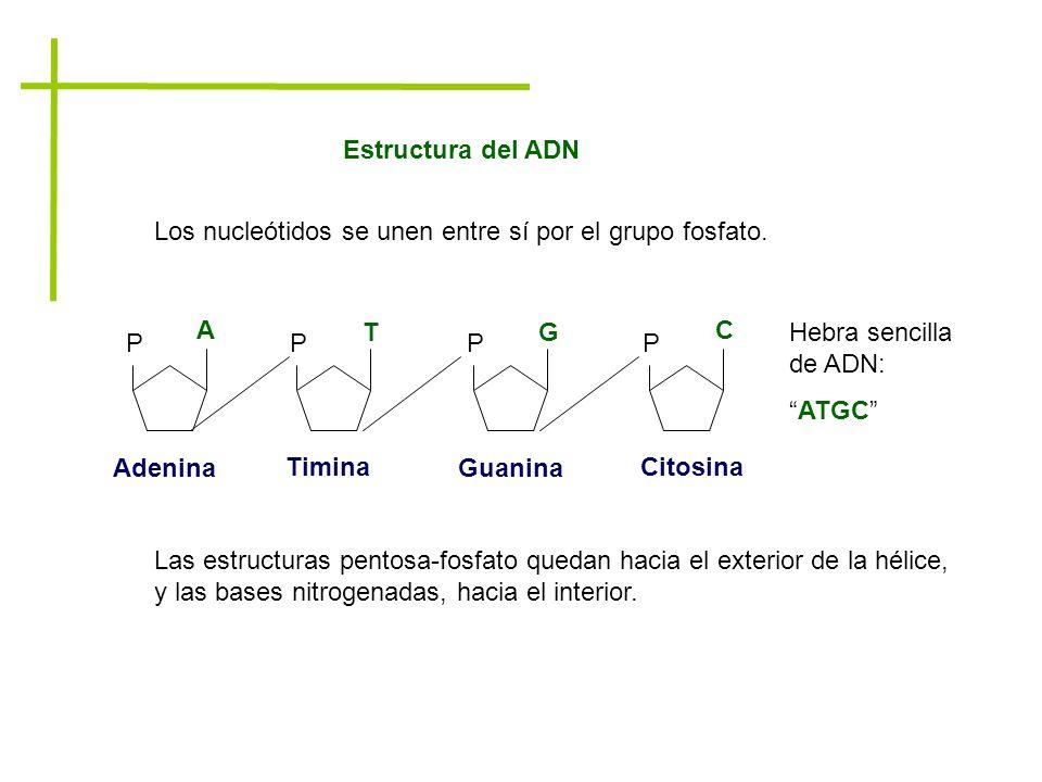 Estructura del ADN Los nucleótidos se unen entre sí por el grupo fosfato. P. A. T. G. C. Adenina.