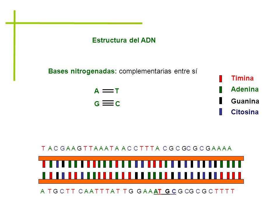 Bases nitrogenadas: complementarias entre sí Timina