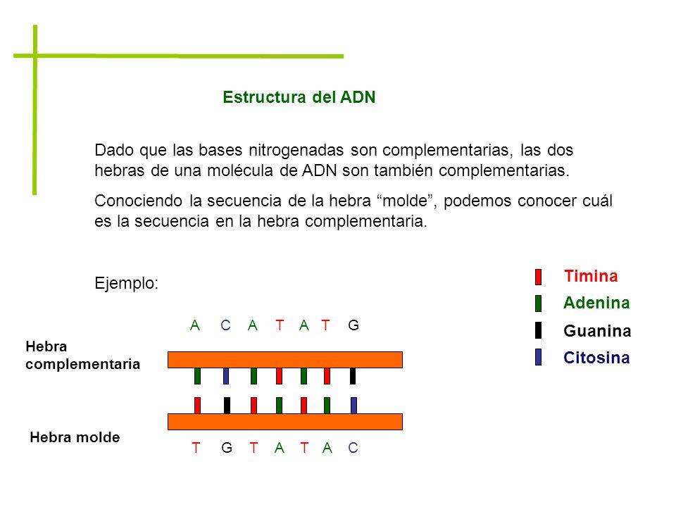 Estructura del ADN Dado que las bases nitrogenadas son complementarias, las dos hebras de una molécula de ADN son también complementarias.