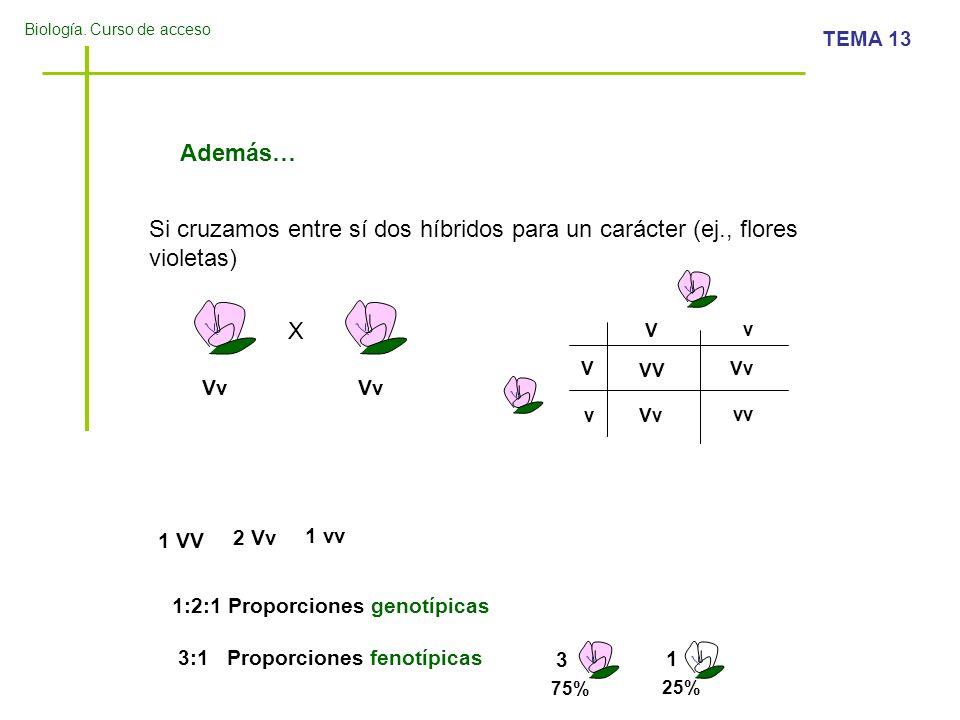 Además…Si cruzamos entre sí dos híbridos para un carácter (ej., flores violetas) X. V. v. V. VV. Vv.