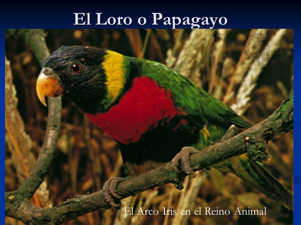 El Loro o Papagayo El Arco Iris en el Reino Animal