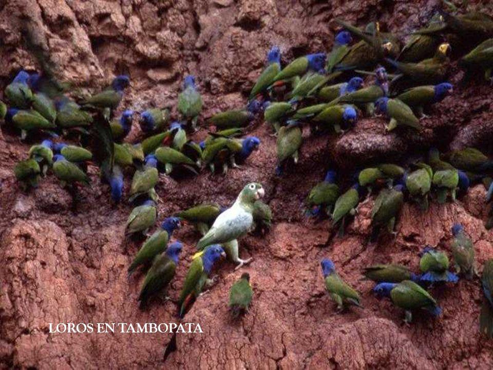 LOROS EN TAMBOPATA
