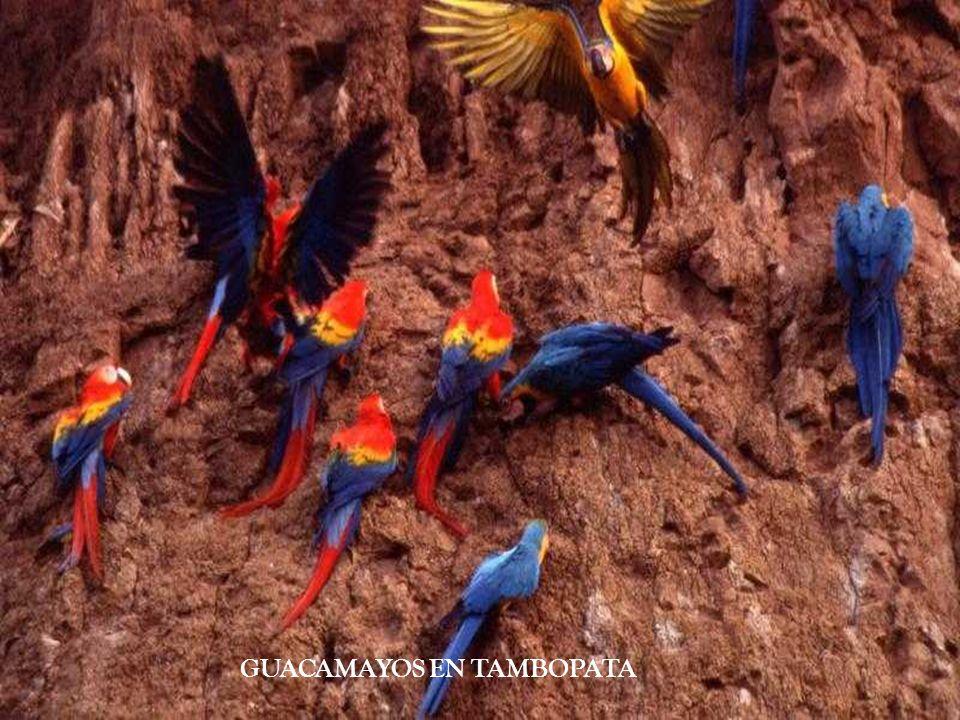 GUACAMAYOS EN TAMBOPATA