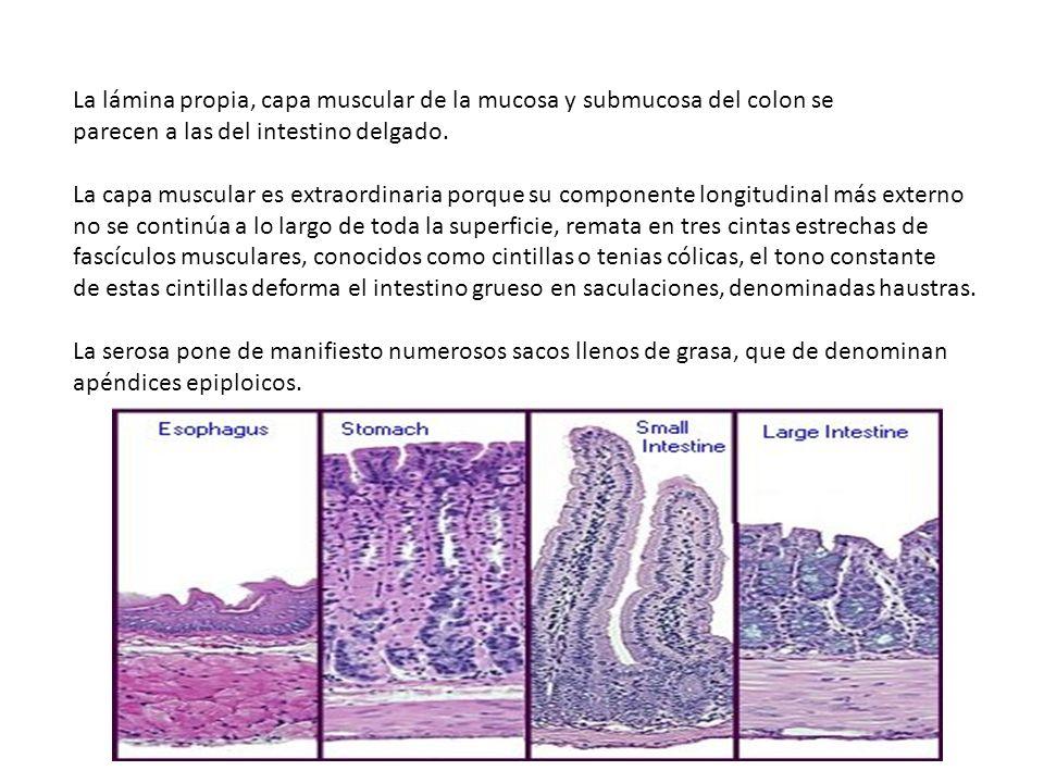 La lámina propia, capa muscular de la mucosa y submucosa del colon se parecen a las del intestino delgado.