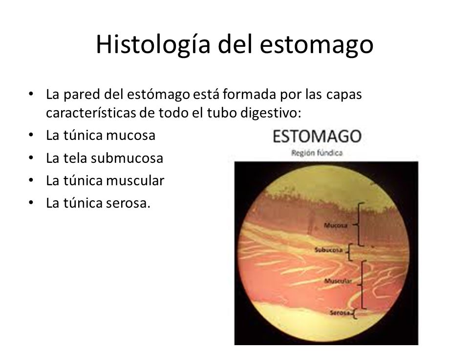Histología del estomago