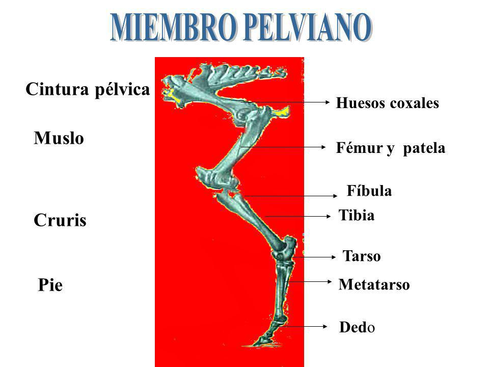 MIEMBRO PELVIANO Cintura pélvica Muslo Cruris Pie Huesos coxales
