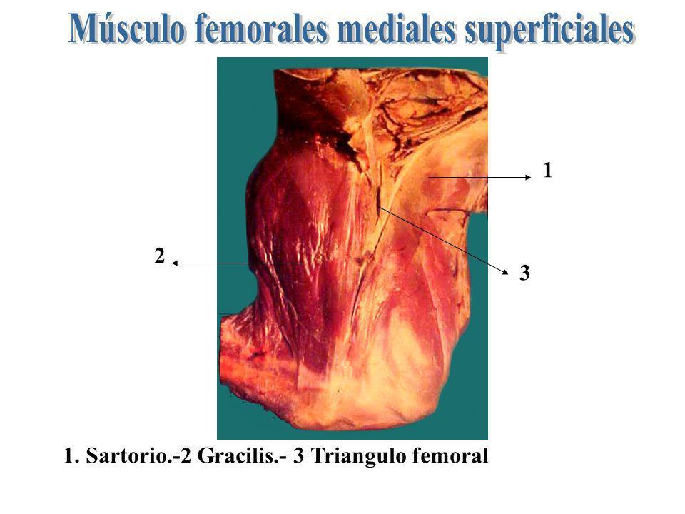 Músculo femorales mediales superficiales
