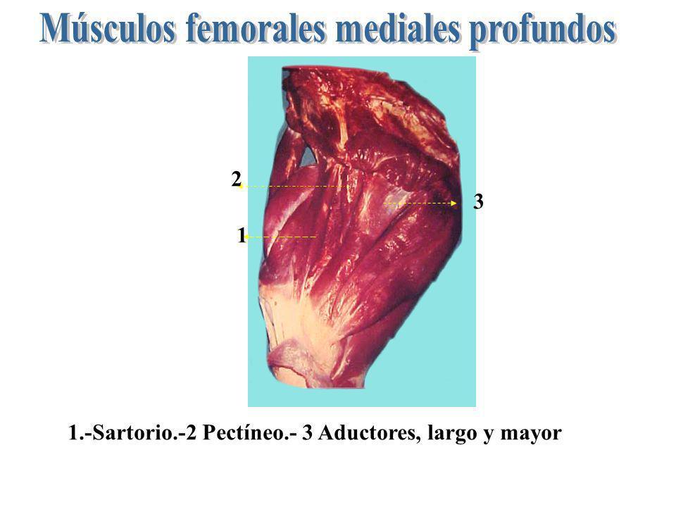 Músculos femorales mediales profundos