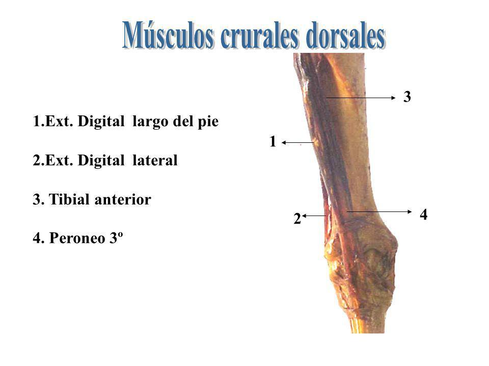 Músculos crurales dorsales